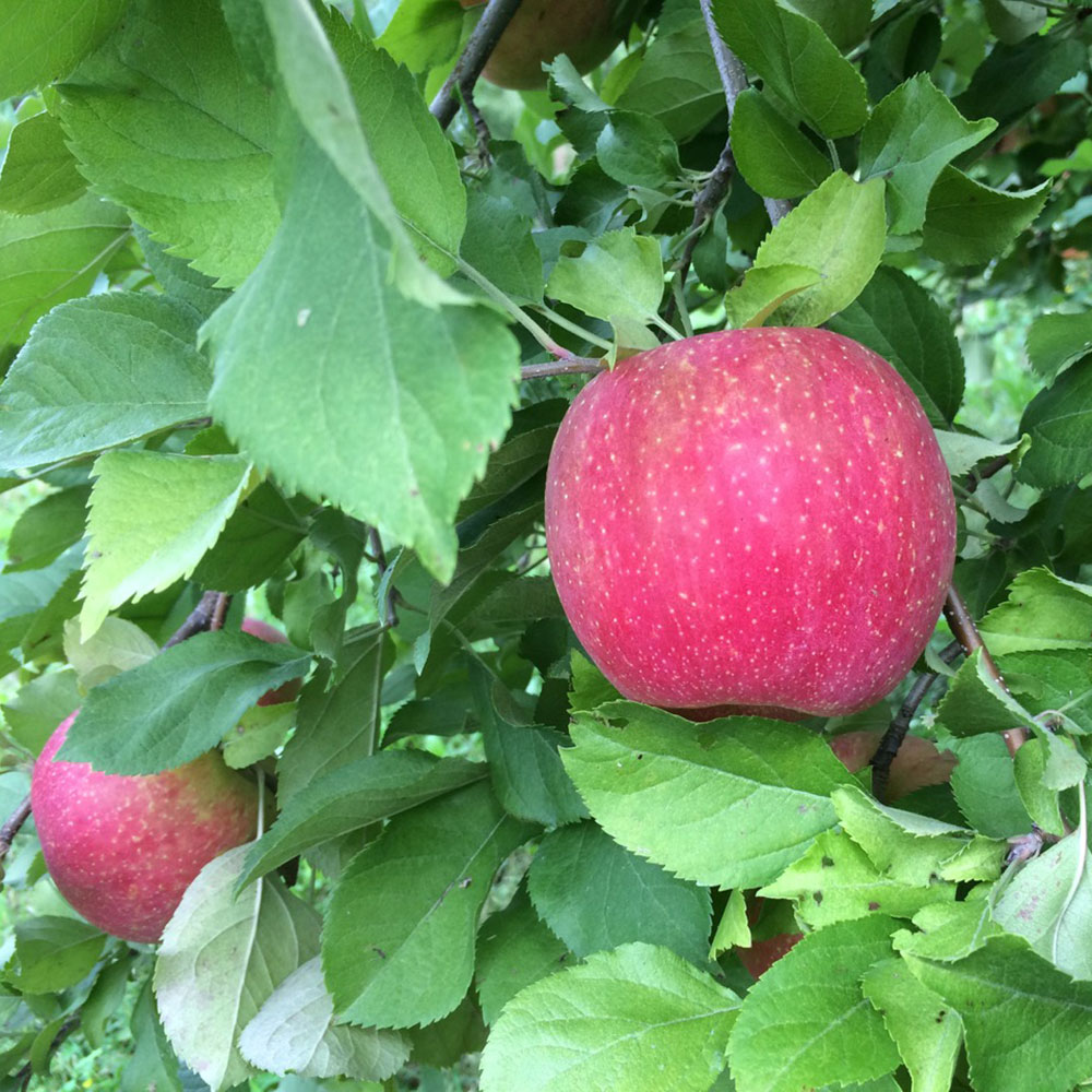 EverCrisp® Apples – Midwest Apple Improvement Association